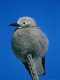 A Clarks Nutcracker Perches on a Branch