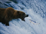 A Grizzly Bear Opens Wide for a Mouth Full of Salmon at the Brooks Falls Fishing Grounds
