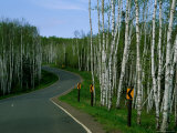 Signs Indicate Curves in the Road Running Through a Grove of Young Birch Trees