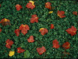 Red Maple Leaves Lie on Green Clover Grass