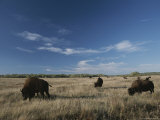 Bison Graze on a Field Set against a Blue Sky with Wispy Clouds