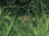 A Jaguar Peeks out from the Foliage