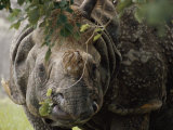 A Docile Looking Indian Rhino Chews on a Few Leaves