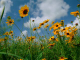 Wild Sunflowers in a Field