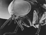 Scanning Electron Microscopic View of a Greenhead Fly