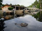 American Alligator Near Docked Outboard Motorboats