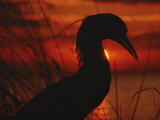 A Silhouette of a Heron Standing in Tall Grass at Sunset