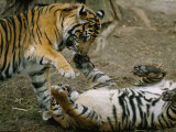 Two Tigers Play Together at the National Zoo