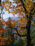 A Black Oak Tree (Quercus Kelloggii) in Yosemite Valley