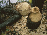 Tree Felled by an Industrious Beaver