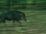 A Peccary Sprints Through the Forest