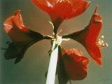 A Close-up of a Four Red Blossoms