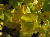 California Wild Grape Leaves (Vitis Californica)
