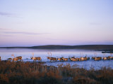 Barren-Ground Caribou Swim Across a River During Their Annual Migration
