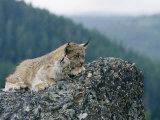 A Captive Female Lynx and Her Tiny Cub Survey the Surrounding Countryside