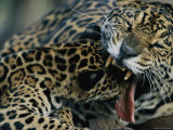 A Jaguar Plays with its Cub
