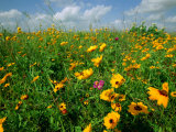 A Field of Wildflowers