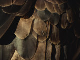 A Close View of an American Bald Eagles Feathers