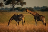 Giraffes Graze on the African Plain