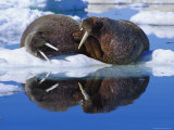 Two Large Atlantic Walrus Bulls Rest Peacefully Together