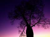 Silhouetted Baobab Tree Near Jandowae