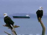 Two American Bald Eagles Sit on Dead Tree Branches as an Oil Tanker Passes By