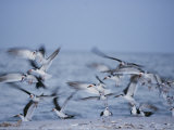 A Flock of Black Skimmer Birds on the Shore of Sanibel Island