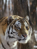 Portrait of an Adult Male Siberian Tiger