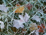 Frost Covered Autumn Leaves in the Grass