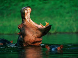 A Hippopotamus Yawns While Swimming in the Water