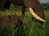 Juvenile African Elephant Being Fed by its Parent