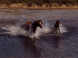 Chincoteague Ponies Splash Through the Flowing Water