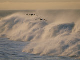 A Pair of Brown Pelicans Glides Above the Surf on Offshore Winds