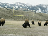 American Bison Graze on a Football Field Near the Mountains