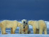 Polar Bears (Ursus Maritimus)