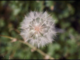A Dandelion Before its White Puffy Seeds Blow Away