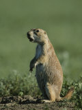 A Prairie Dog (Cynomys Sp) Scans its Territory for Predators