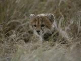 Close View of a Juvenile Cheetah in a Grassy Landscape