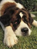 Portrait of a Sad-Eyed Saint Bernard Dog