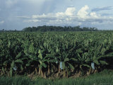 Overview of a Banana Plantation