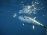 A Giant Bluefin Tuna Feeds at the Waters Surface