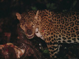 A Wounded Jaguar Eats a Peccary it Killed During a Fight