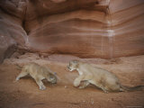 Two Mountain Lions Spar in a Canyon