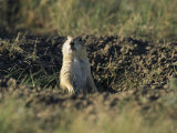 A Black-Tailed Prairie Dog Peers over the Entrance to its Burrow