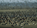 Huge Flock of Migratory Shorebirds  Including Red Knot Sandpipers