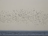 Huge Flock of Migratory Shorebirds