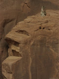 A Mountain Lion Surveys its Domain from Atop a Rock