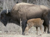 A Female Wood Buffalo Nurses Her Calf