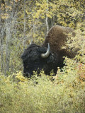 Close View of a Wood Buffalo in Mackenzie Bison Sanctuary