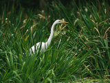 A Great Egret  Casmerodius Albus  Standing in Tall Grasses